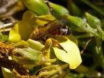 Biene beim Nektarnaschen