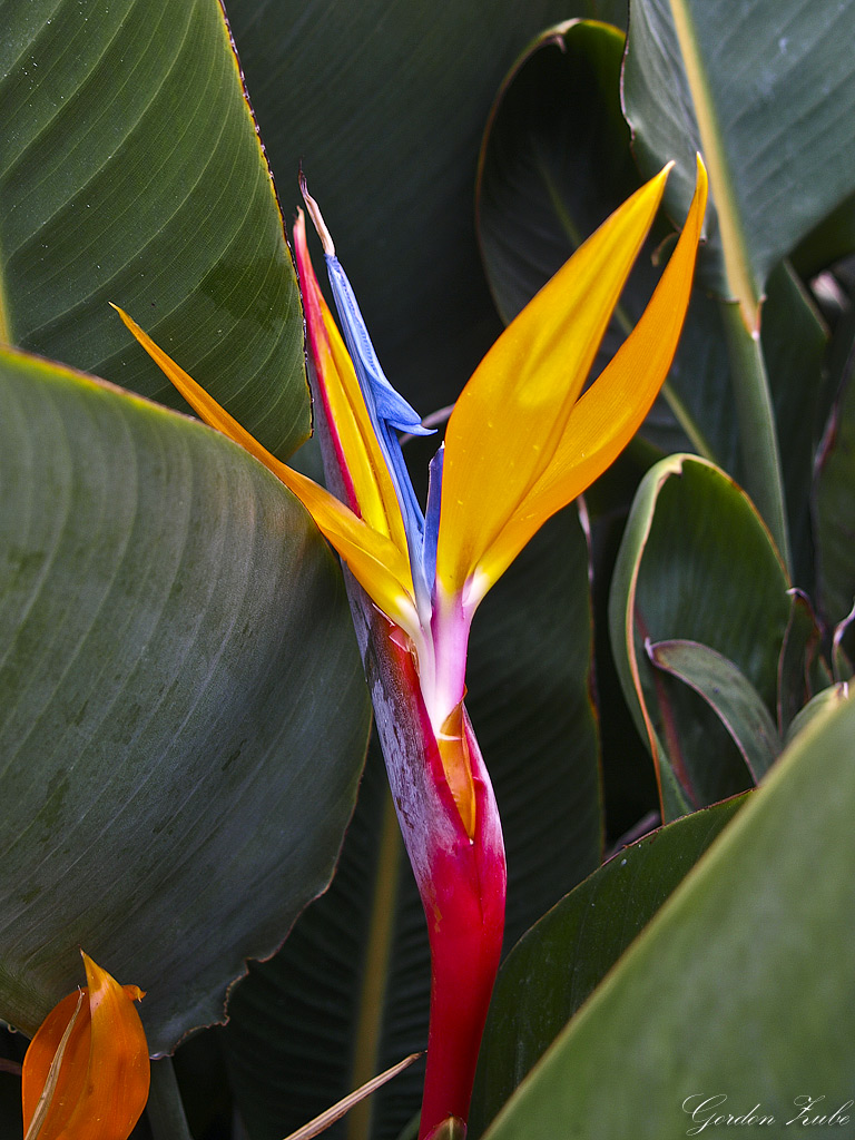 lotusbluete