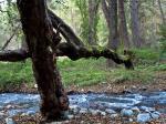 Baum über den Fluss