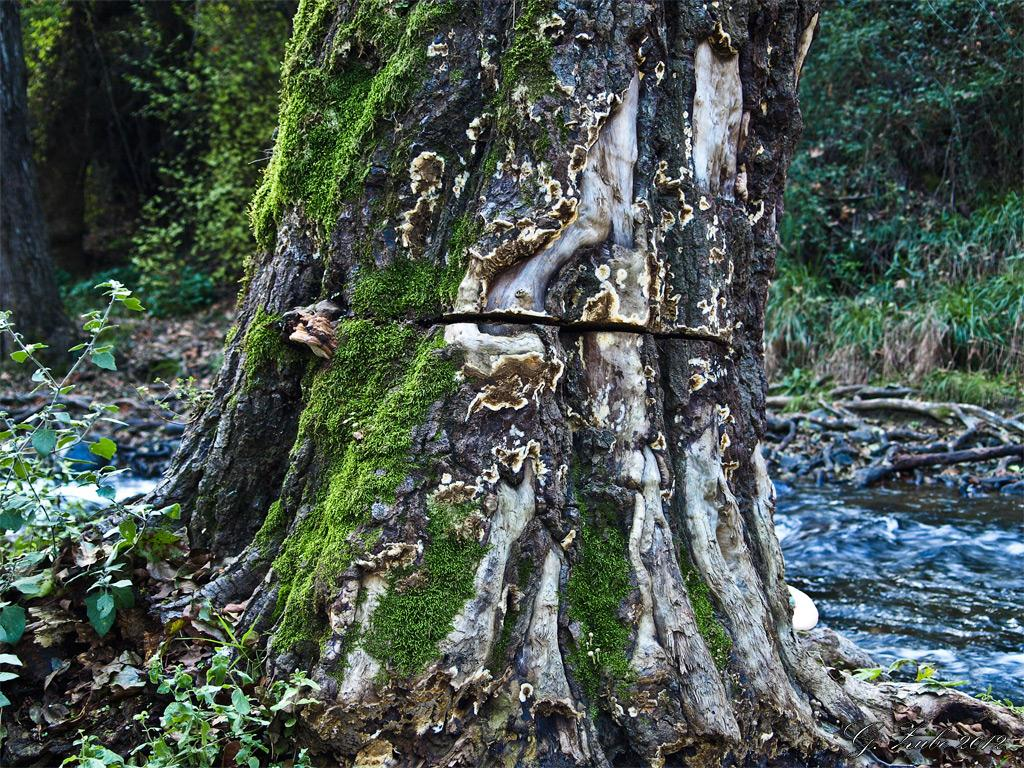 Angesägter Baum