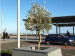 Heiliger Olivenbaum